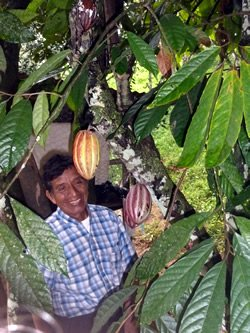 Manuel in a Cacao Tree